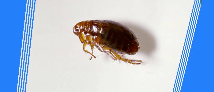 Flea Control Chatswood